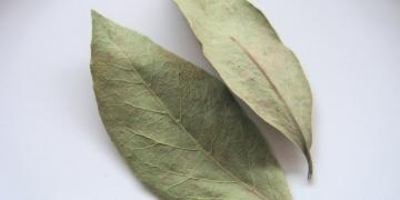 L – Lorbeer (Laurus nobilis), Weisheit und Ruhm für die Küche [Gewürze ABC]