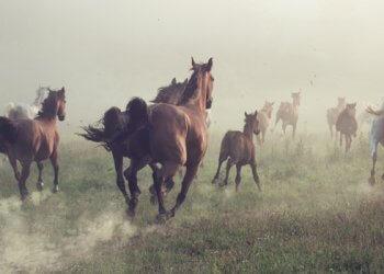 galoppierende Pferde